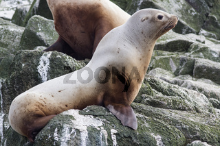 Steller sea lion sitting on a rock island in the Pacific Ocean