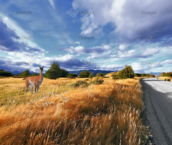 Graceful guanaco on the side of the road