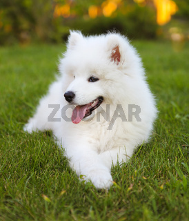Funny Samoyed puppy in the summer garden