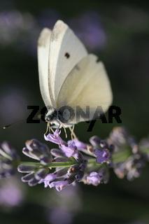 Schmetterling auf Lavendelzweig, butterfly on lavender