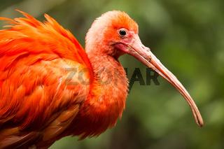 Portrait of Scarlet Ibis