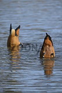 Rostgans (Tadorna ferruginea), Paar, gründelt nach Nahrung im Te