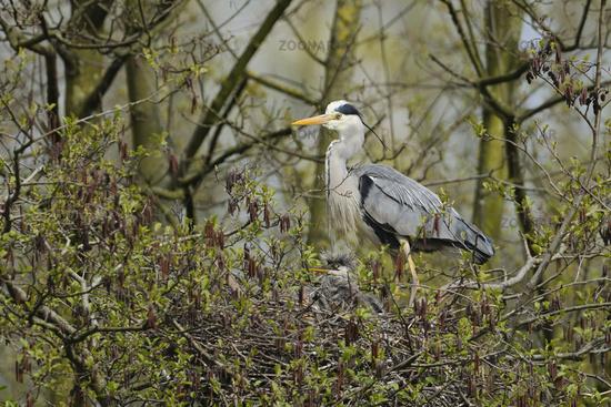 nesting site... Grey Heron *Ardea cinerea*