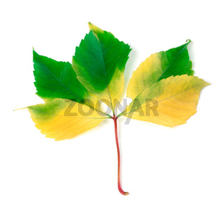 Multicolorl grapes leaf on white background