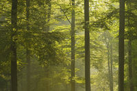 Beech forest (Fagus sylvatica) in early morning mist