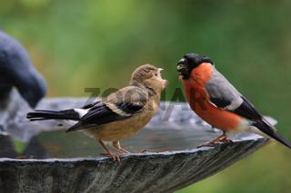 Dompfaff-Altvogel fuettert Jungvogel