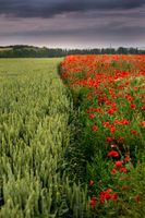 Red poppies against cloudy sky