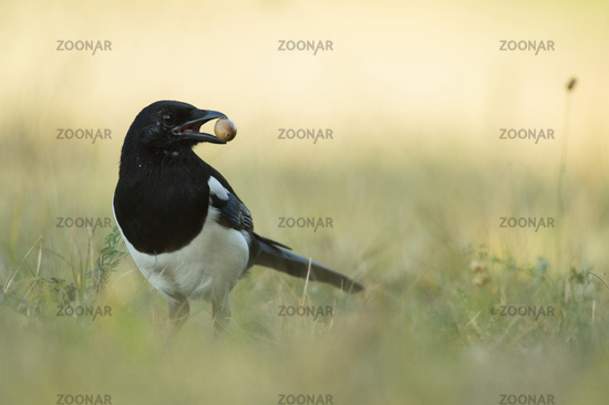 for winter stock... Eurasian Magpie *Pica pica*