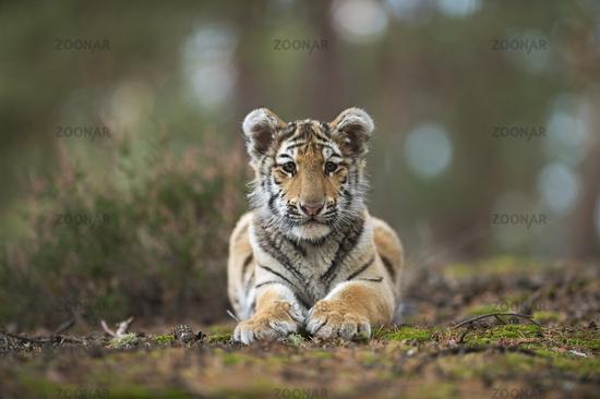 huge paws... Bengal Tiger *Panthera tigris*
