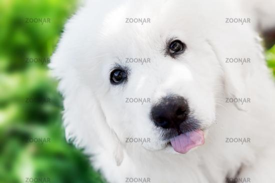 Cute white puppy dog portrait. Polish Tatra Sheepdog
