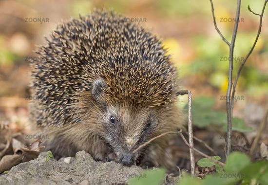 European hedgehog, Schleswig-Holstein, Germany /