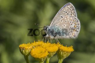 Hauhechelbläuling (Polaommatus icarus)