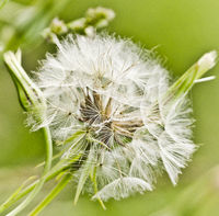 Dandelion, Taraxacum officinale, Germany, Europe