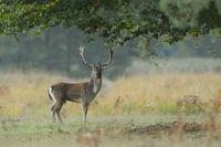 Fallow deer, Cervus dama, Germany