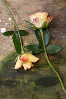 two blooming roses on wooden background