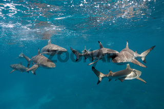 Schwarzspitzen-Riffhaie, Salomonen