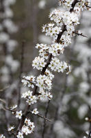 Blooming blackthorn