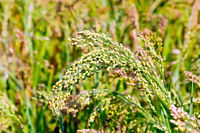 Millet ears of unripe
