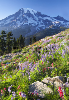 Mount Rainier Wildlflowers