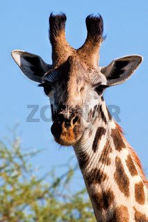 Giraffe portrait close-up. Safari in Serengeti, Tanzania, Africa