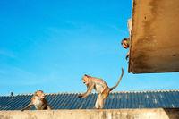 Urban monkey, Thai