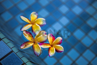 Tropical frangipani flowers floating