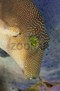 Labyrinth-Spitzkopfkugelfisch, Indonesien