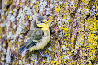 Young blue tit sits on oak tree trunk