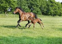Mare with foal gallops