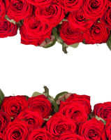 many red roses in shallow DOF