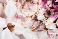 Fresh and withered magnolia flowers