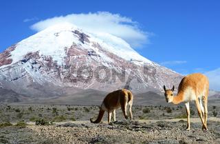 Vicugna. stratovolcano Chimborazo, Cordillera Occidental, Andes, Ecuador