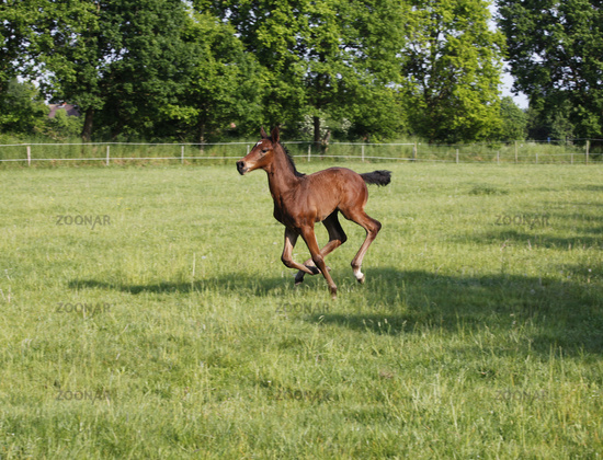 Foal gallops on pasture