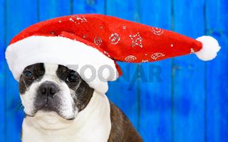 Boston Terrier als Weihnachtsmann