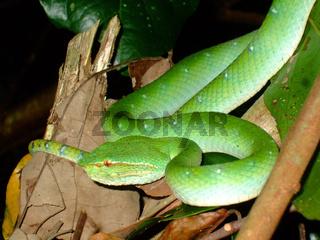 Borneo Green Pitviper