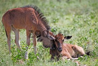 Sehr junge Gnus, Etosha, Namibia, very young wildebeests, Etosha, Namibia