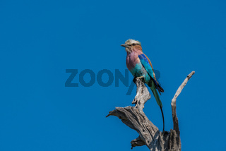 Lilac-breasted roller staring out from dead branch