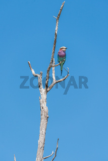 Lilac-breasted roller in tree against blue sky