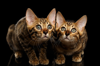 Two Bengal Kitty Looking in Camera on Black