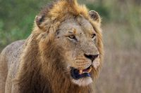 lion in the kruger national park south africa