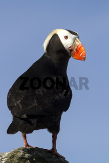 tufted puffin  sitting on a rock turned rehouse