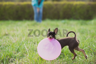 cute russian toy terrier dog holding frisbee and look to camera