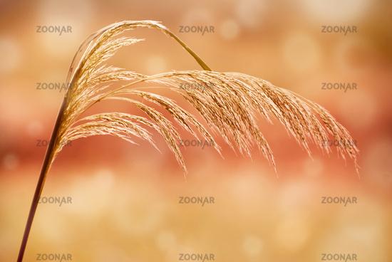 sepia toned grass inflorescence