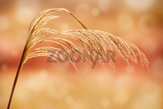 sepia toned grass inflorescence
