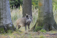 Wild boar in Forest, Germany