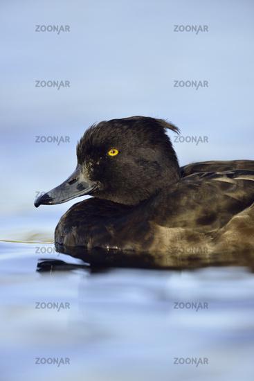 yellow eyes... Tufted Duck *Aythya fuligula*