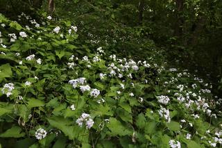 Perennial honesty, Lunaria rediviva, Ausdauerndes Silberblatt