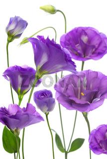 Purple eustomy.