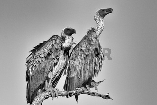 vulture at the kruger national park south africa (black and white)
