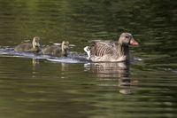 Gray goose with young animals, (Anser anser), Hamburg, Germany, Europe